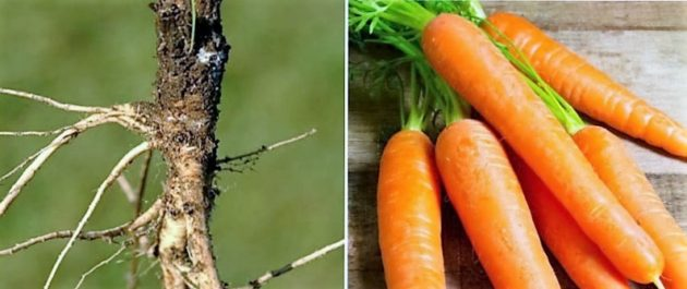 A vadon növő és a termesztett sárgarépa