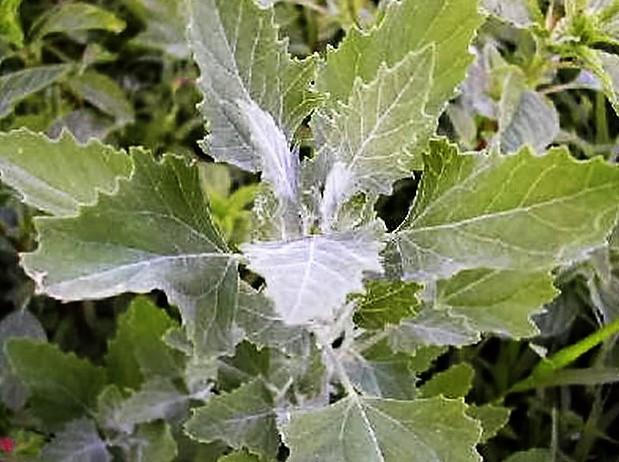 Fehér libatop (Chenopodium album)