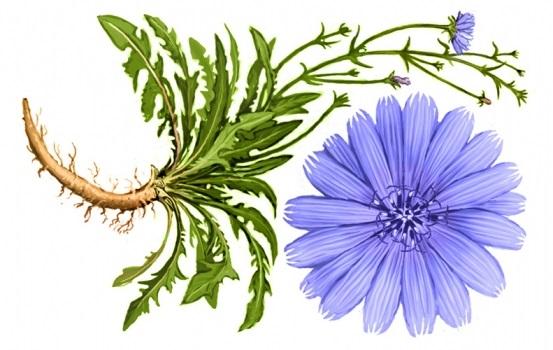 Mezei katáng (Cichorium intybus)
