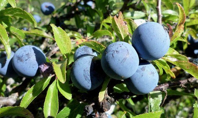 A kökény (Prunus spinosa) termése