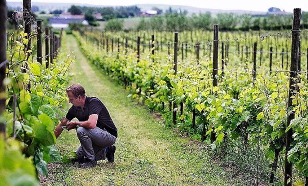 Köpingsbergs Vineyard