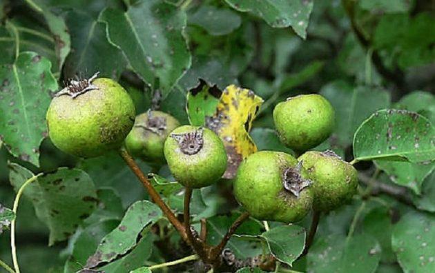A vadkörte (Pyrus pyraster) termése