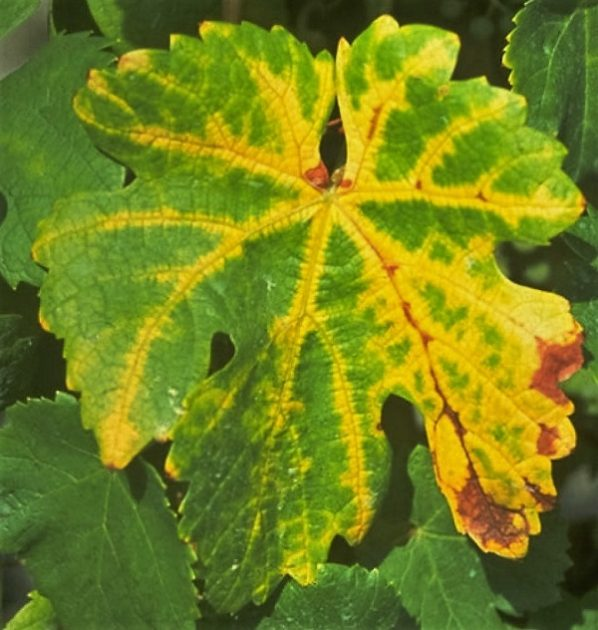 Grapevine flavescence dorée - aranyszínű sárgaság