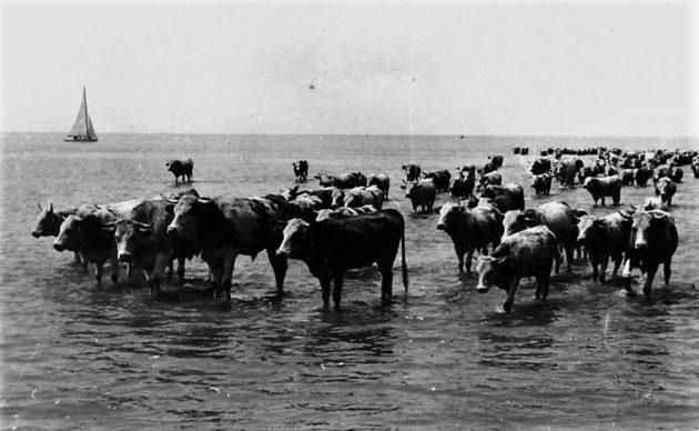 Tehéncsorda a Balatonban az 1930-as évek elején (illusztráció)