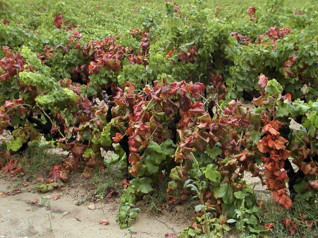 Az aranyszínű sárgaságot okozó Grapevine flavescence dorée (FD) fitoplazma a szőlő egyik legveszélyesebb kórokozója.