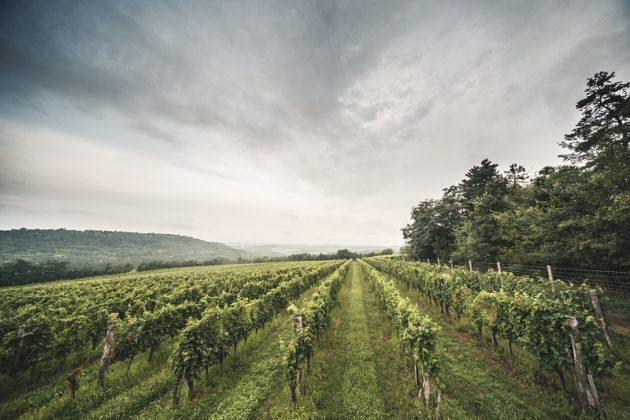 Dél-balatoni szőlőültetvény (Garamvári, Balatonlelle)