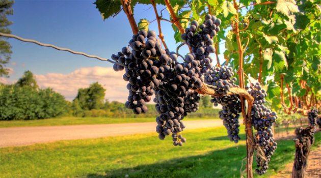 A globális felmelegedés hatása a szőlőre és borra