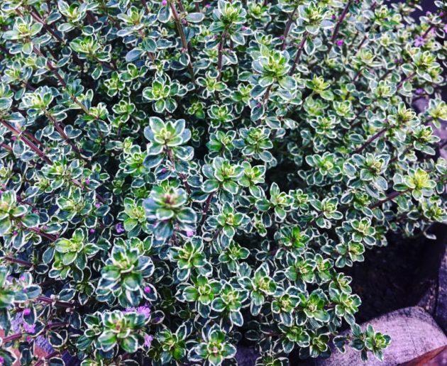 Kakukkfű (Thymus sp.)