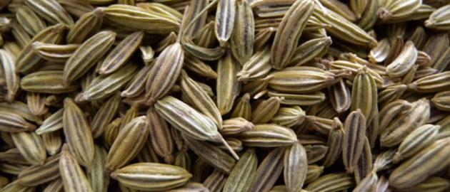 Édeskömény (Foeniculum vulgare) (Forrás: essentialoil.in)