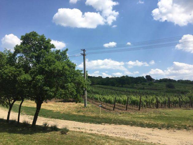 Muzslai szőlők a domb aljában