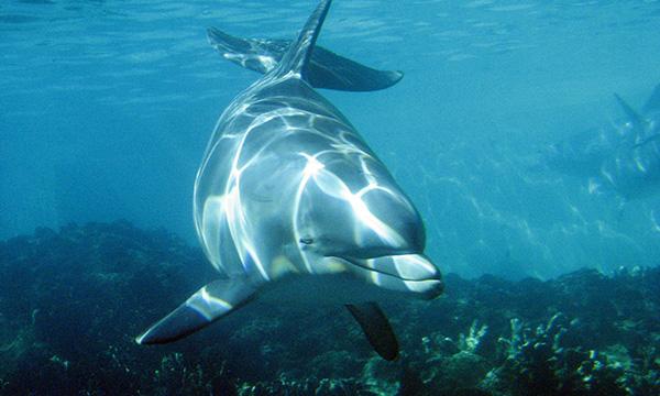 A halakat egészben lenyelő delfinekben az édes mellett, már az umami, és a keserű íz érzékelésére alkalmas működő receptorok is hiányoznak.