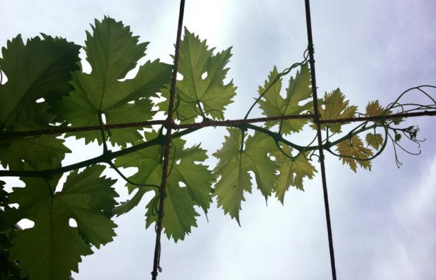 A Haller-terasz alakulóban lévő szőlőlugasa - zene nélkül növekedve