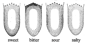Hänig (1901) ábrája. A pontok sűrűsége a nyelv különböző területein az egyes ízek (édes, keserű, savanyú, sós) érzékelésének relatív intenzitását mutatja, függetlenül más ízek intenzitásától, ami miatt a négy kép valójában nem összevethető.