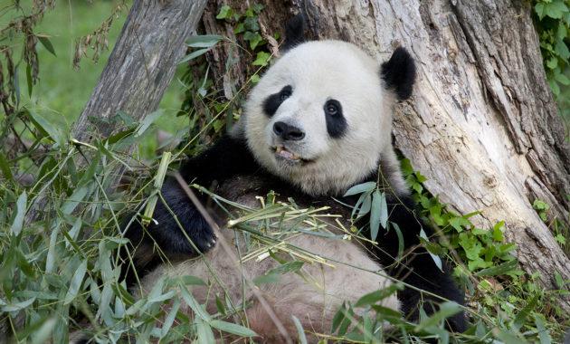 Óriás Panda (Kína)