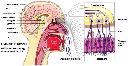 A szaglás és a limbikus rendszer kapcsolata