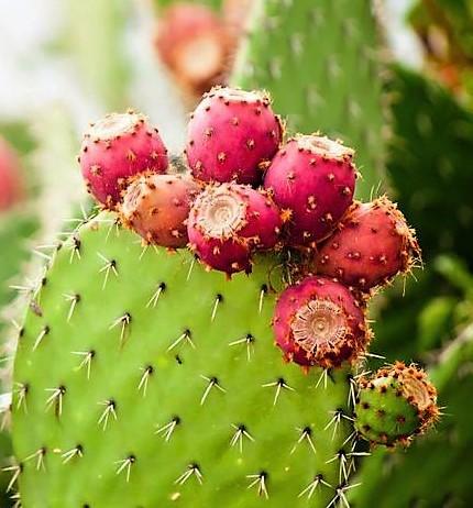 Kaktuszgyümölcs