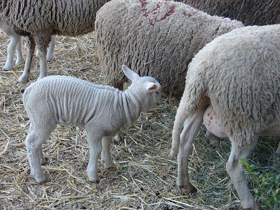 Allaiton d'Aveyron bárány