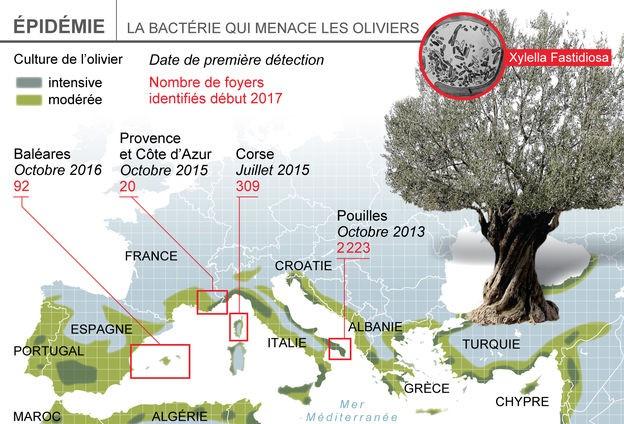A Xylella fastidiosa különböző alfajainak felbukkanása Európa olívaolaj ligeteiben