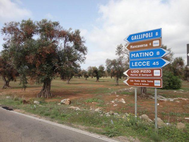 Fertőzött olajfák Pugliaban