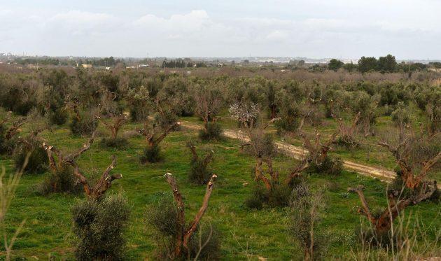 A gyógyíthatatlan Xylella fastidiosa fertőzésben elpusztult olajfák Olaszországban (Puglia).