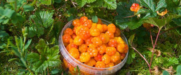 Finnország legértékesebb gyümölcse a mocsarakban és sűrű erdőkben növő mocsári hamvas szederrel (lakka).