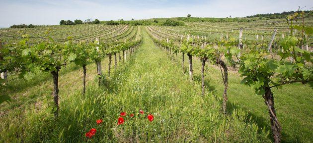 Amíg Ausztriában a szőlőterületek 15%-a állt át a bioművelésre. Magyarországon ugyanez szám alig 2%.