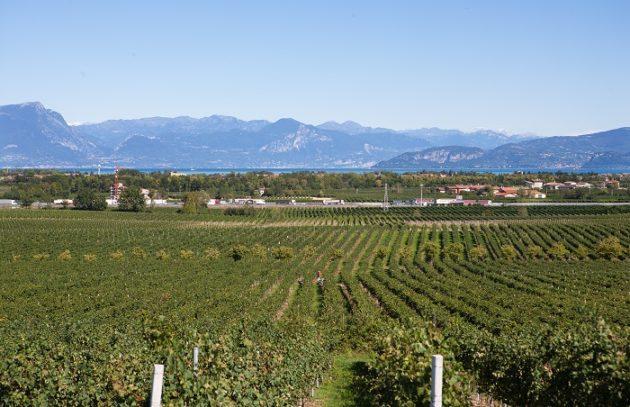Turbiana ültetvény (háttérben a Garda tó)