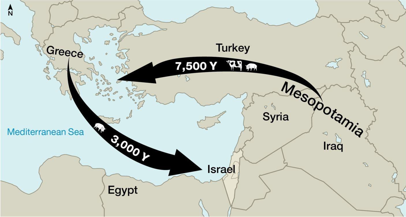 Az első sertéseket a filiszteusok vihették Görögországból Izrael földjére