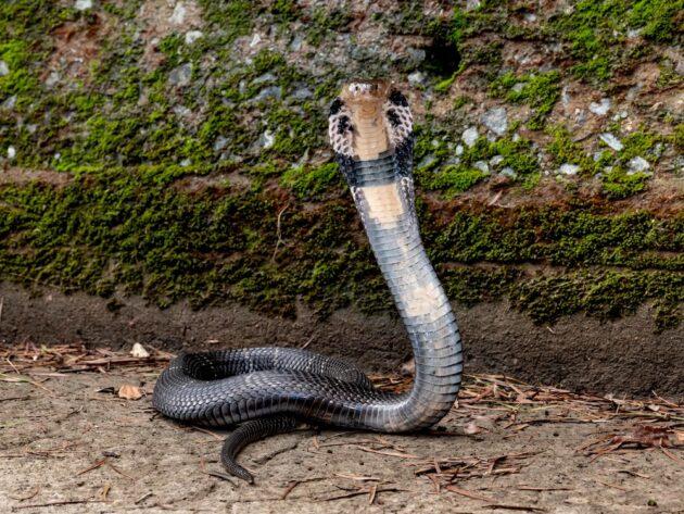 Kínai kobra