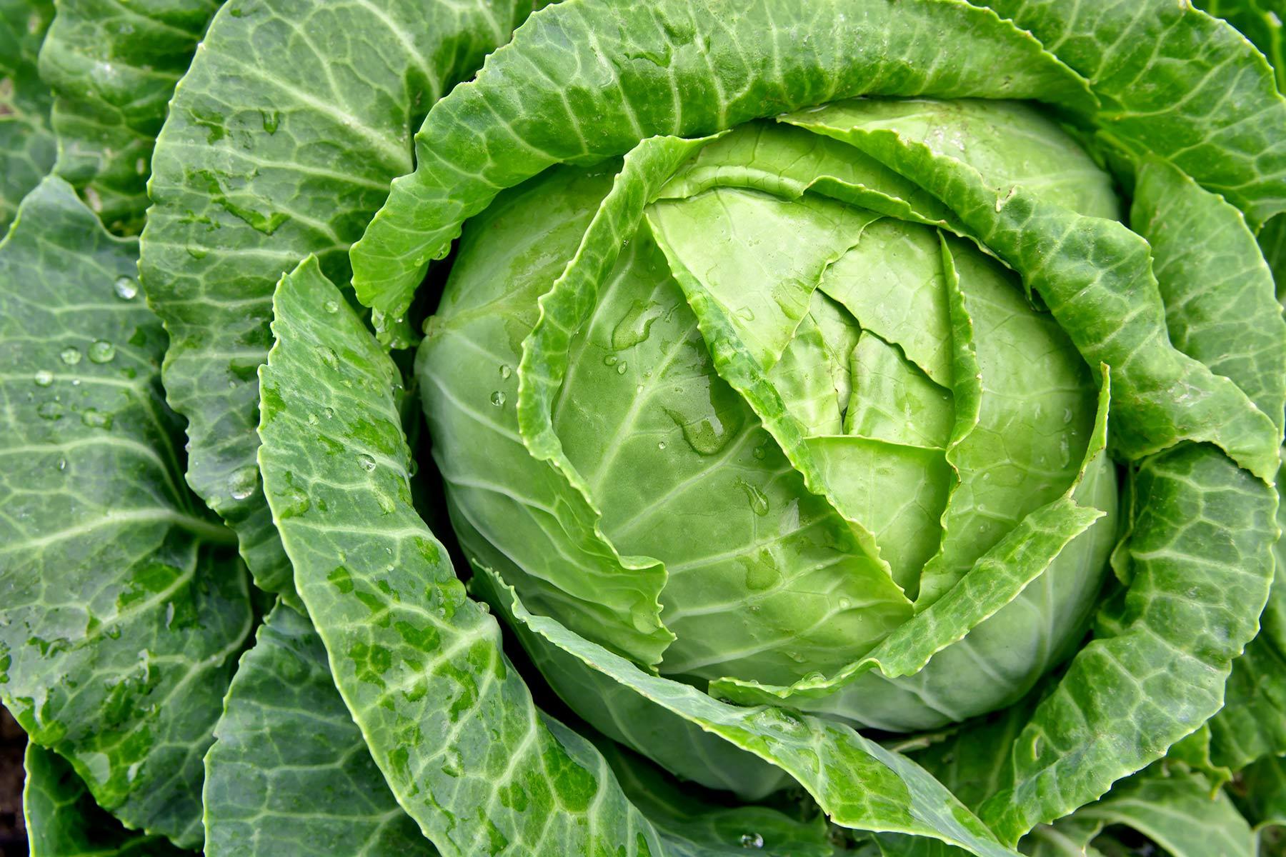 A meglepetés zöldség, a káposzta volt.