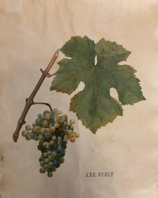 Neogrády kéknyelű szőlő
