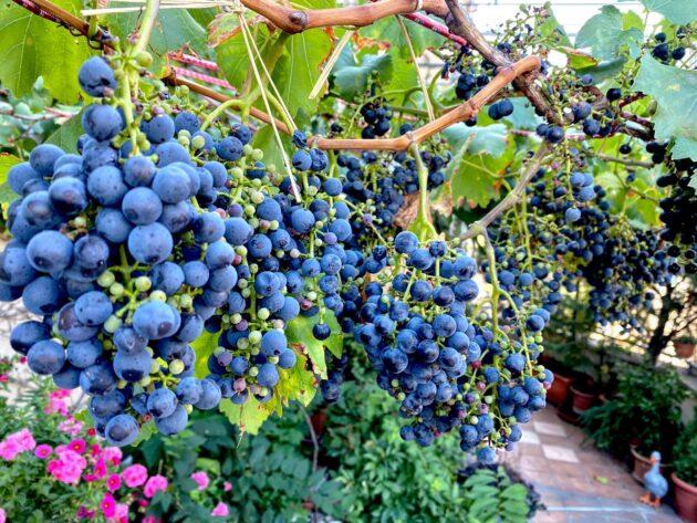 Helyszín. Haller-terasz. Fajta: kékfrankos. Terroir: 5. emeleti terasz speciális pesti mikroklímával.