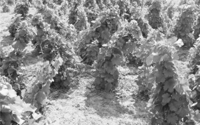 AMBRUS LAJOS – Buckai karcos (a szegedi homoki bor)