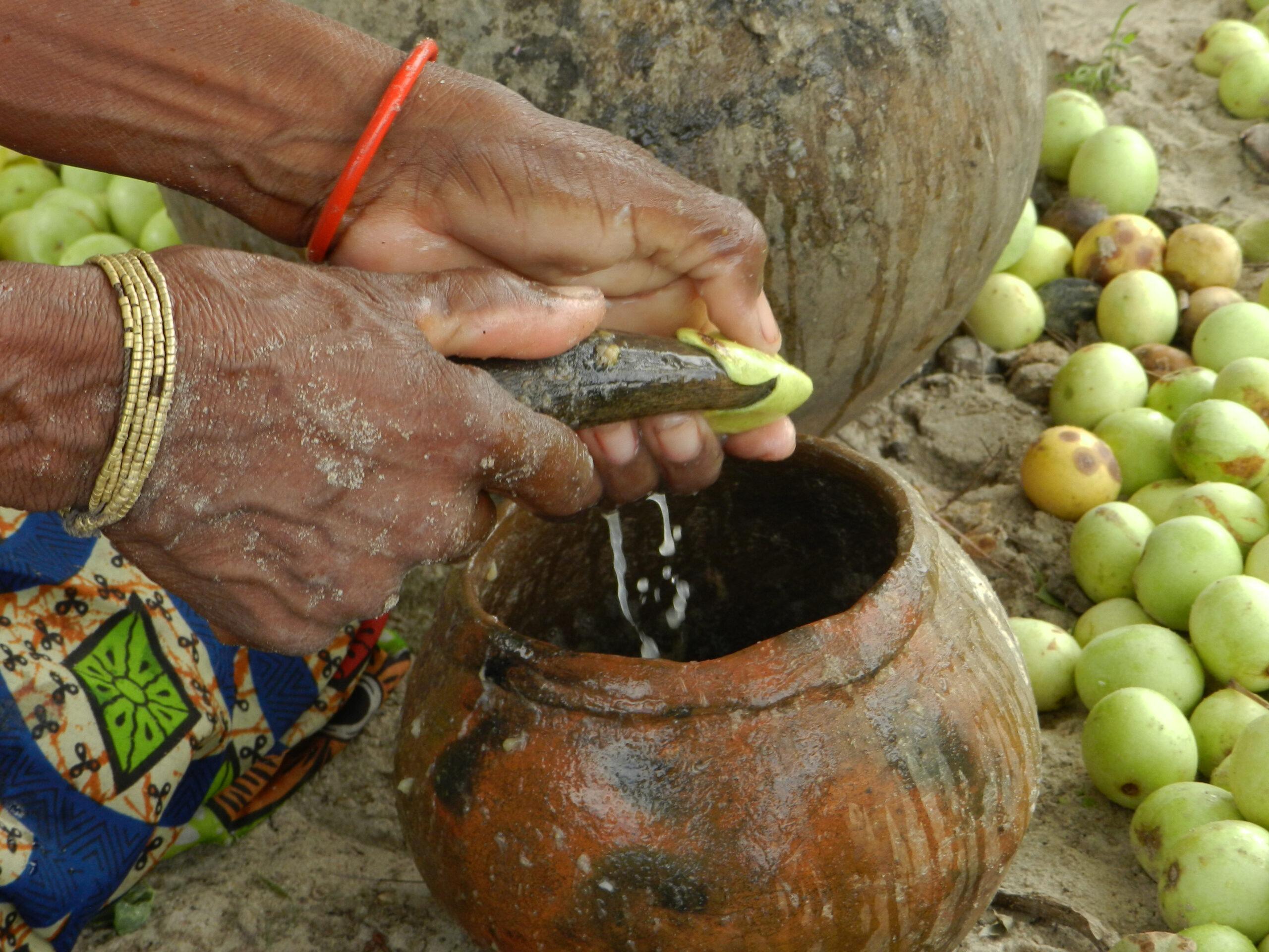 A marula fa gyümölcséből az ember is erjeszt alkoholos italt